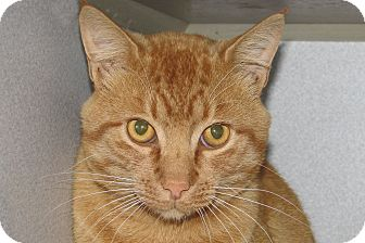 Domestic Shorthair Cat for adoption in Ruidoso, New Mexico - Morris