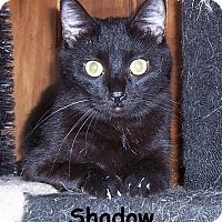 Adopt A Pet :: Shadow - Oklahoma City, OK