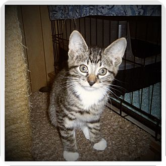 Domestic Shorthair Kitten for adoption in Medford, Wisconsin - LEONARD