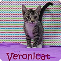 Domestic Shorthair Kitten for adoption in Bucyrus, Ohio - Veronicat