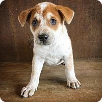 Adopt A Pet :: Clover - Fredericksburg, TX