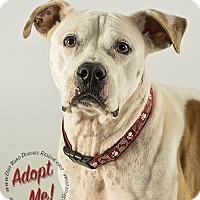 American Bulldog/Labrador Retriever Mix Dog for adoption in Gillsville, Georgia - Petey