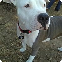 Adopt A Pet :: Cali - Lincoln, CA