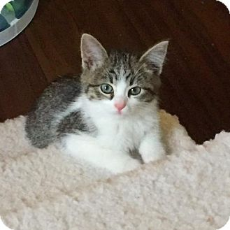 Domestic Shorthair Kitten for adoption in Shakopee, Minnesota - Mister Fuzz Bottom III C1538