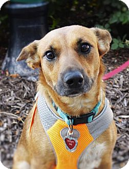 German Shepherd Dog Dog for adoption in Gretna, Nebraska - Kitty