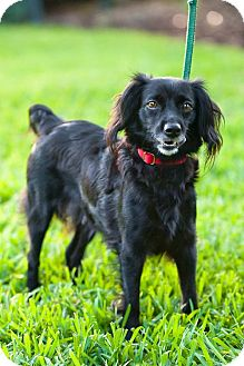 Spaniel (Unknown Type) Mix Dog for adoption in Miami, Florida - Nina
