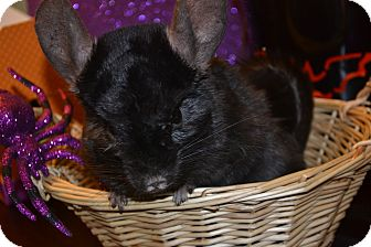 Chinchilla for adoption in Patchogue, New York - Virgil