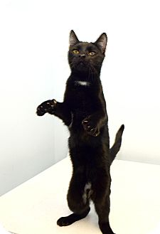 Domestic Shorthair Cat for adoption in New York, New York - Tom