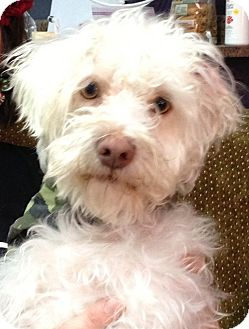 Poodle (Miniature)/Maltese Mix Dog for adoption in Thousand Oaks, California - Dior