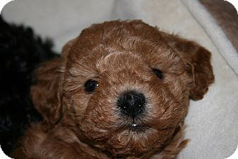 Poodle (Toy or Tea Cup) Puppy for adoption in Van Nuys, California - Audrey