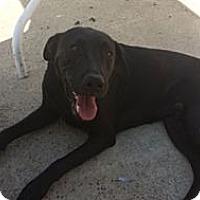 Adopt A Pet :: Choco - Monrovia, CA