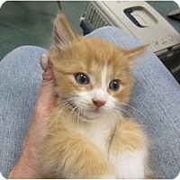 Adopt A Pet :: Cream Puff (bottle baby) - Sterling Hgts, MI