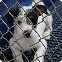 Adopt A Pet :: Paxton - Brattleboro, VT