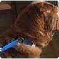 Adopt A Pet :: Simba - Bethesda, MD