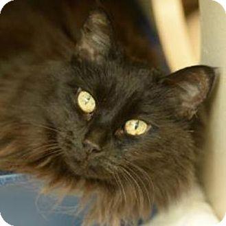 Domestic Mediumhair Cat for adoption in Denver, Colorado - Fionia the Great