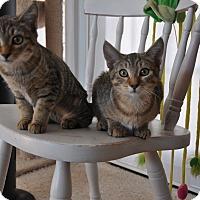 Adopt A Pet :: Linx - Encinitas, CA