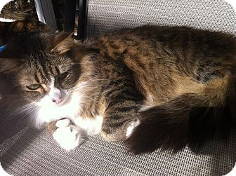 American Shorthair Cat for adoption in Tampa, Florida - Chewy