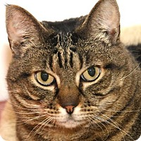Domestic Shorthair Cat for adoption in Eastsound, Washington - Toni