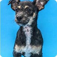 Adopt A Pet :: Daphne - Sunnyvale, CA