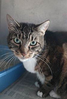 Domestic Shorthair Cat for adoption in San Pablo, California - WENDY