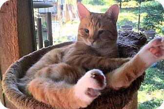 Domestic Shorthair Cat for adoption in Durham, North Carolina - Magoo