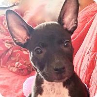 Adopt A Pet :: Talulla - St Petersburg, FL