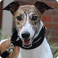 Greyhound Mix Dog for adoption in Nashville, Tennessee - Seven