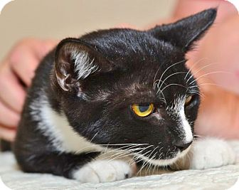 Domestic Shorthair Kitten for adoption in Davis, California - Spritz