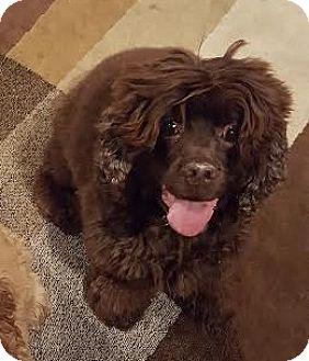 Cocker Spaniel Dog for adoption in Detroit, Michigan - Koko - Foster Needed