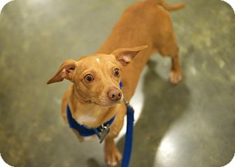 Chihuahua/Dachshund Mix Dog for adoption in San Francisco, California - Nougat