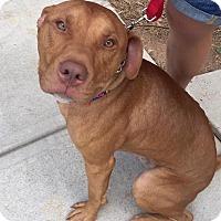 Pit Bull Terrier/American Pit Bull Terrier Mix Dog for adoption in Atlanta, Georgia - Bubba Gump