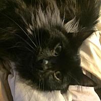 Domestic Mediumhair Cat for adoption in Napa, California - Bumpkin