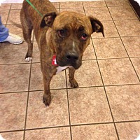 Pit Bull Terrier Mix Dog for adoption in Newport, Kentucky - Fred Jones