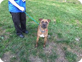Pit Bull Terrier Mix Dog for adoption in University Park, Illinois - Dion