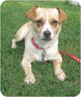 Chihuahua/Pug Mix Dog for adoption in Arlington, Texas - Paisley