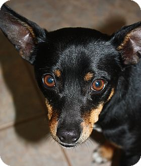 Miniature Pinscher Mix Dog for adoption in Stilwell, Oklahoma - Mr. T