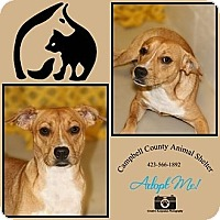 Adopt A Pet :: Duke - La Follette, TN