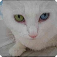 Adopt A Pet :: Snowball - Riverside, RI