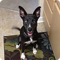 Adopt A Pet :: Reagan - Tustin, CA