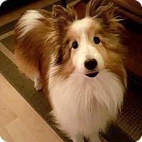 Adopt A Pet :: Sassy - Circle Pines, MN