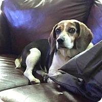 Adopt A Pet :: Abbey - Homer, NY