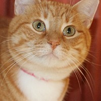 Adopt A Pet :: Marmalade - Savannah, MO