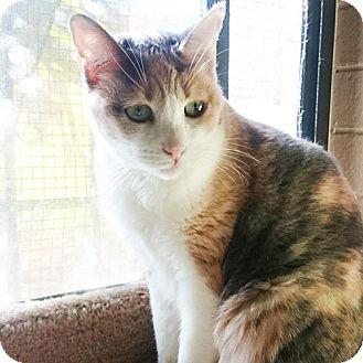 Domestic Shorthair Cat for adoption in Chino Hills, California - Amelia