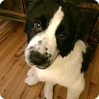 Adopt A Pet :: Riley - Sinking Spring, PA