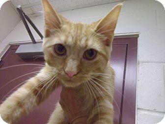 Domestic Shorthair Cat for adoption in Muscatine, Iowa - Jessie