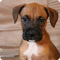 Adopt A Pet :: Romeo - Toledo, OH