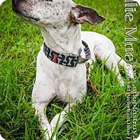 Australian Cattle Dog Mix Dog for adoption in Newport, Kentucky - Ellie Mae