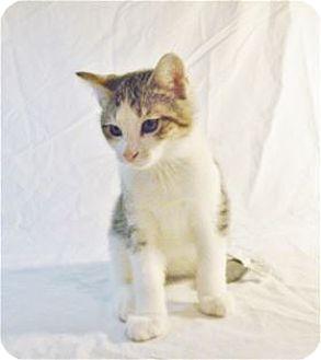 Domestic Mediumhair Kitten for adoption in Nashville, Tennessee - Birch