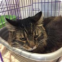 Domestic Longhair Cat for adoption in Paducah, Kentucky - Samson