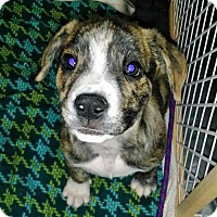 Boxer/Australian Shepherd Mix Puppy for adoption in Peralta, New Mexico - **CRISTAL